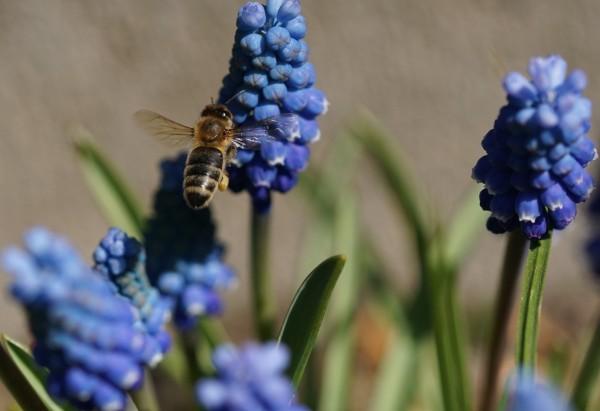Wandbild Traubenhyazinthe mit fliegender Biene (Motiv HF26)