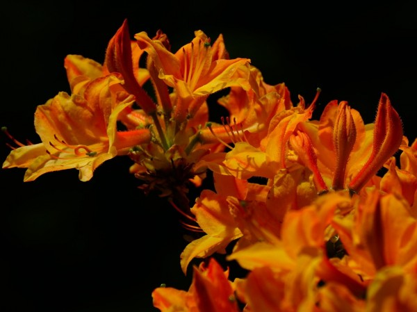 Wandbild Azalee Orangefarben (Motiv HF20)